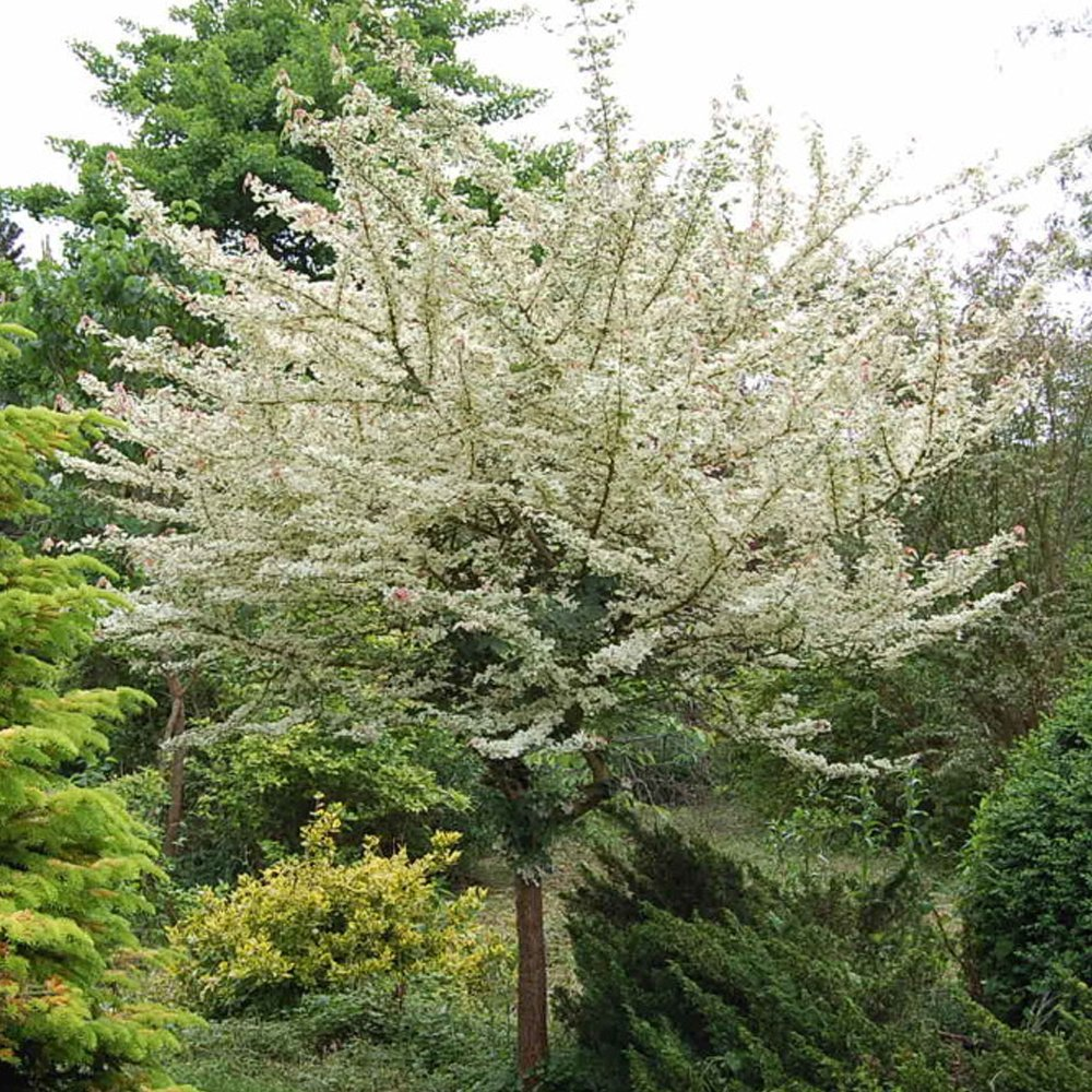 Acer campestre carnival variegated maple acer trees for Short trees