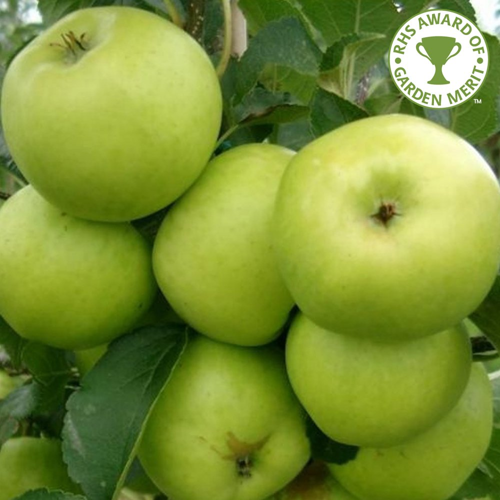 green apple fruit tree. grenadier apple tree green fruit