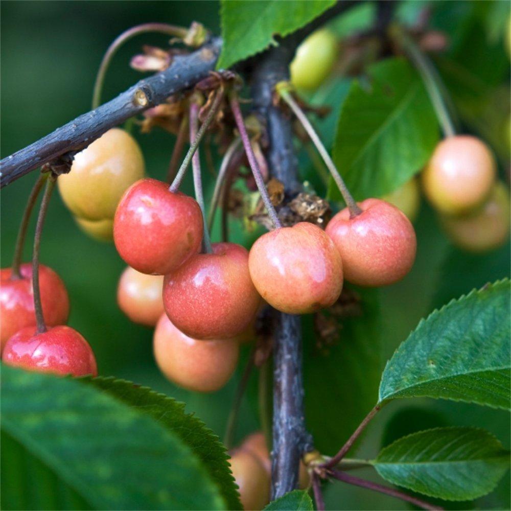 Small Ornamental Trees For Kansas: Merton Glory Cherry Trees For Sale