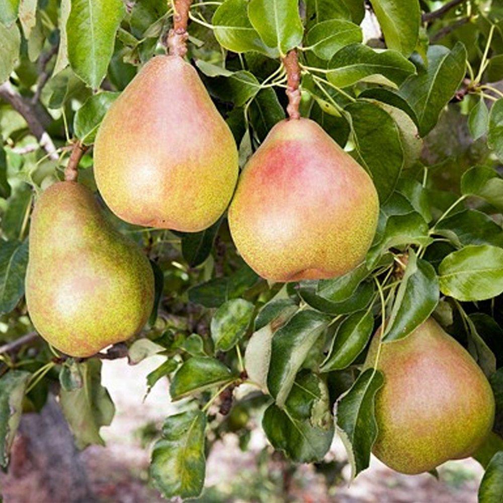 Small Ornamental Trees Oregon: Doyenne Du Comice Pear