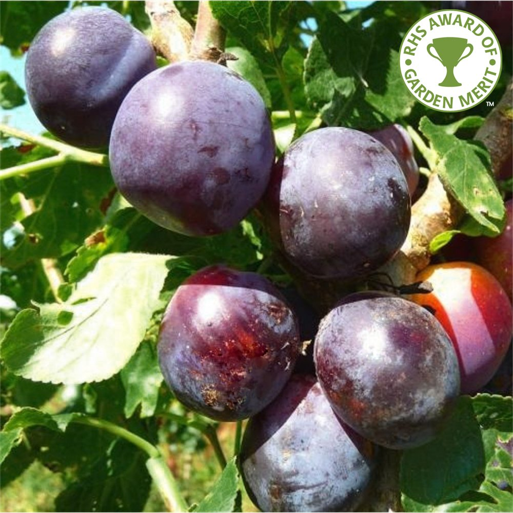 14 Best Images About Plum And Gray Decor On Pinterest: Purchase Plum Fruit Trees
