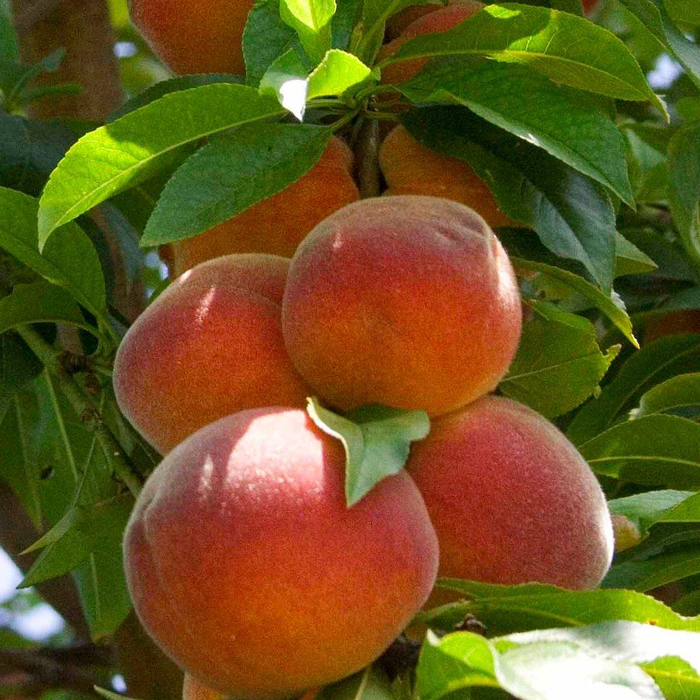 Peach Peregrine | Buy Peach Tree | Peach Trees For Sale: becuo.com/peach-fruit-tree