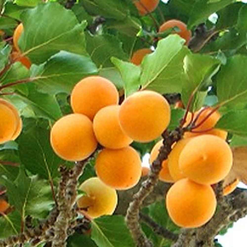 Golden Glow Apricot Tree | Buy Self Fertile Apricot Fruit ...