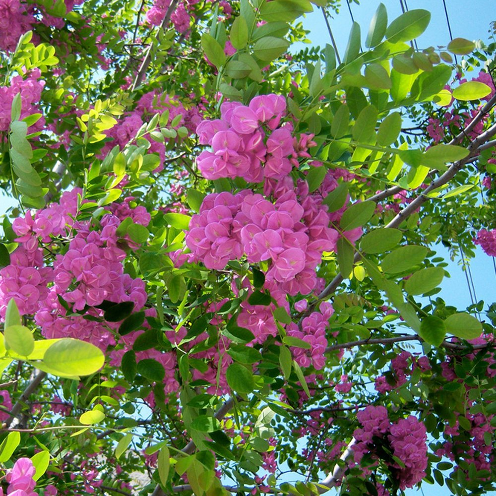 Robinia pseudoacacia hispida buy rose acacia trees for Tree with red flowers