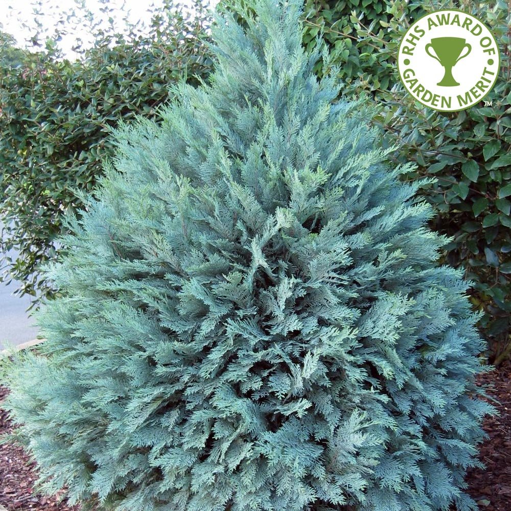 Ornamental evergreen trees - Chamaecyparis Lawsoniana Pembury Blue Conifer