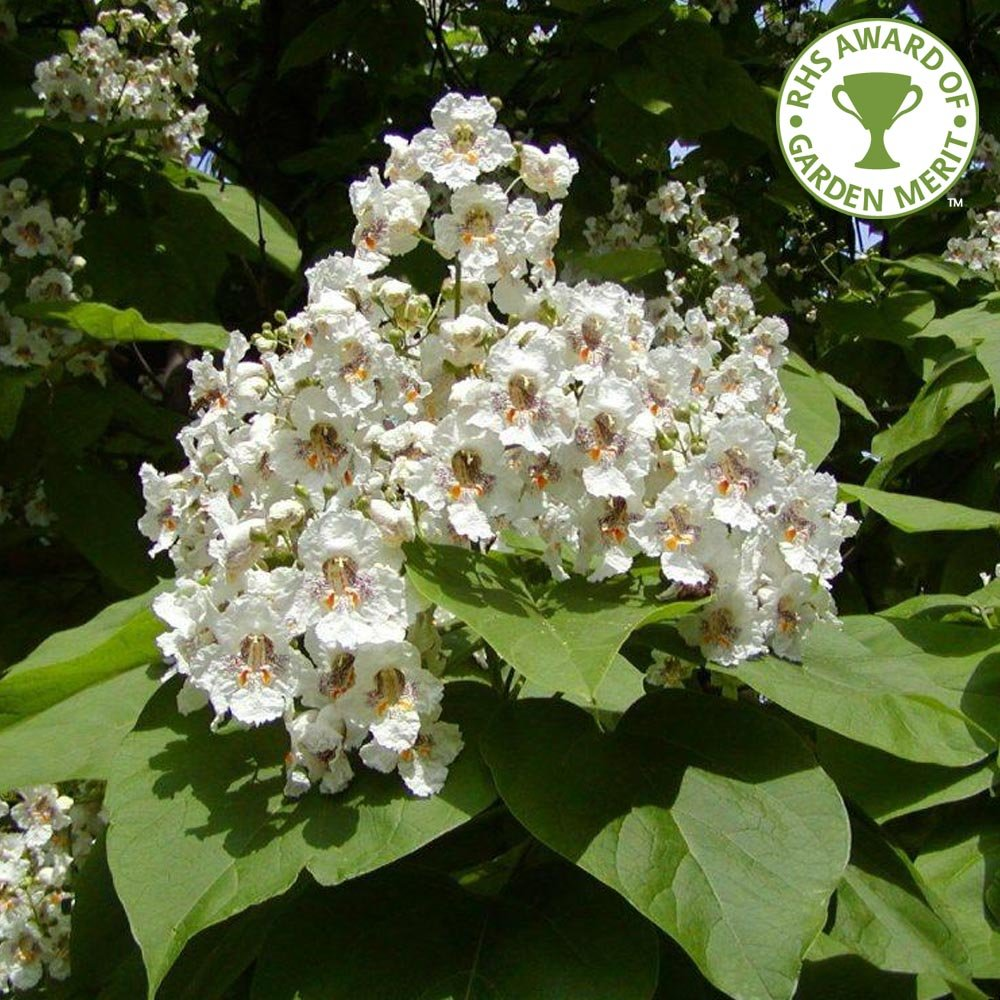 catalpa bignonioides common catalpa buy indian bean trees. Black Bedroom Furniture Sets. Home Design Ideas