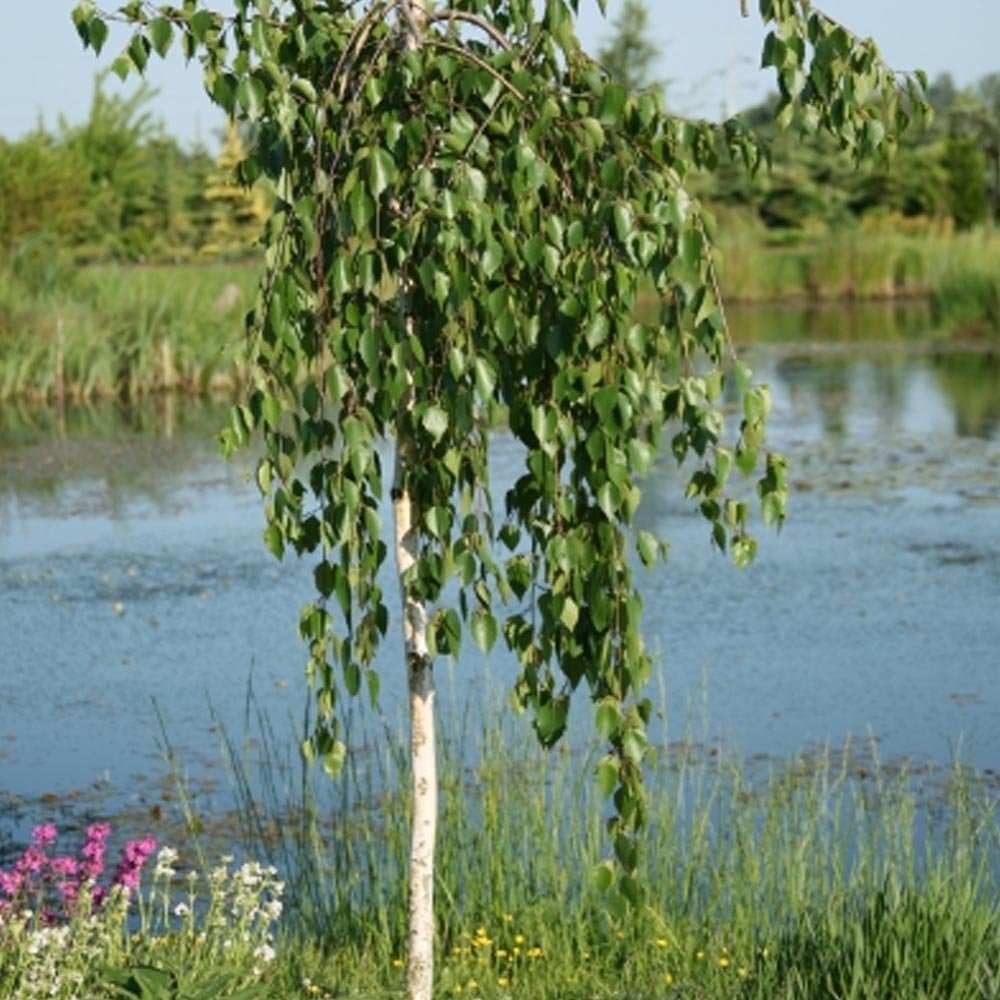 Betula utilis long trunk weeping himalayan birch tree for Small ornamental trees