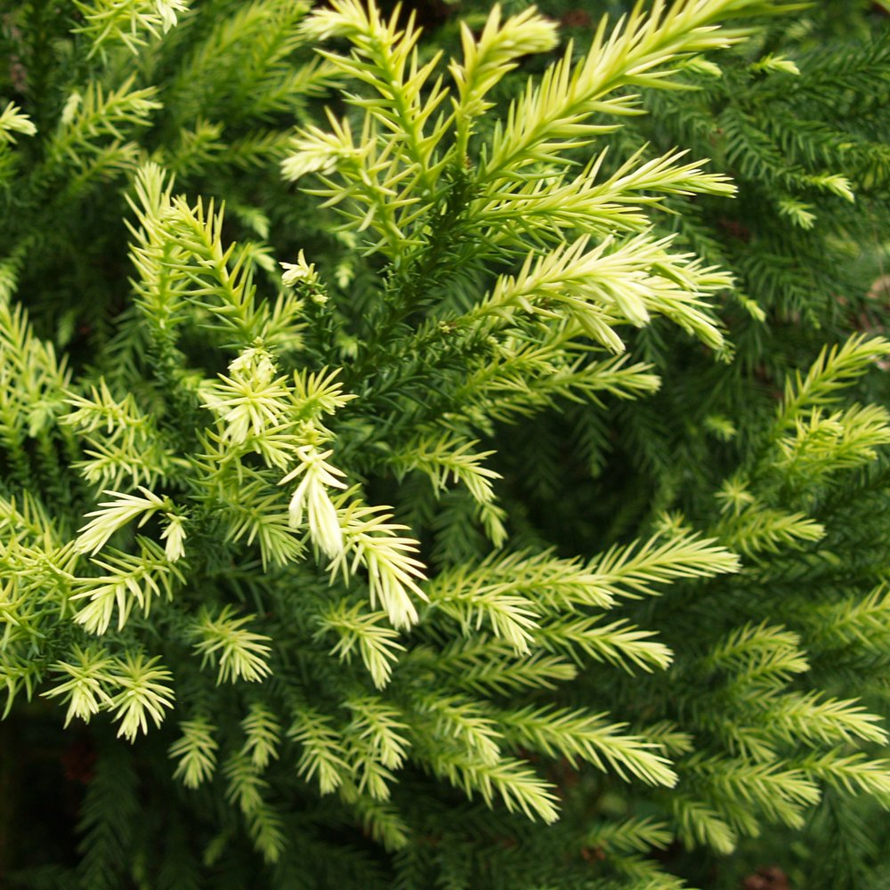 Small Cedar Tree Varieties ~ Cryptomeria japonica sekkan sugi japanese cedar trees