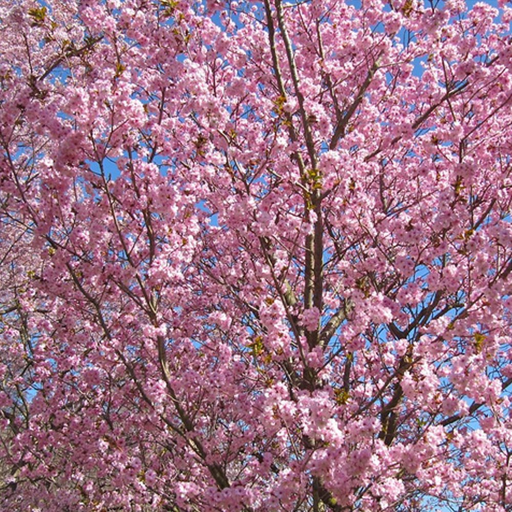 prunus beni yutaka buy cherry blossom tree flowering. Black Bedroom Furniture Sets. Home Design Ideas