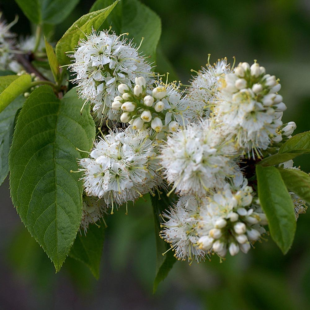 Prunus maackii buy manchurian cherry tree flowering for Purchase trees