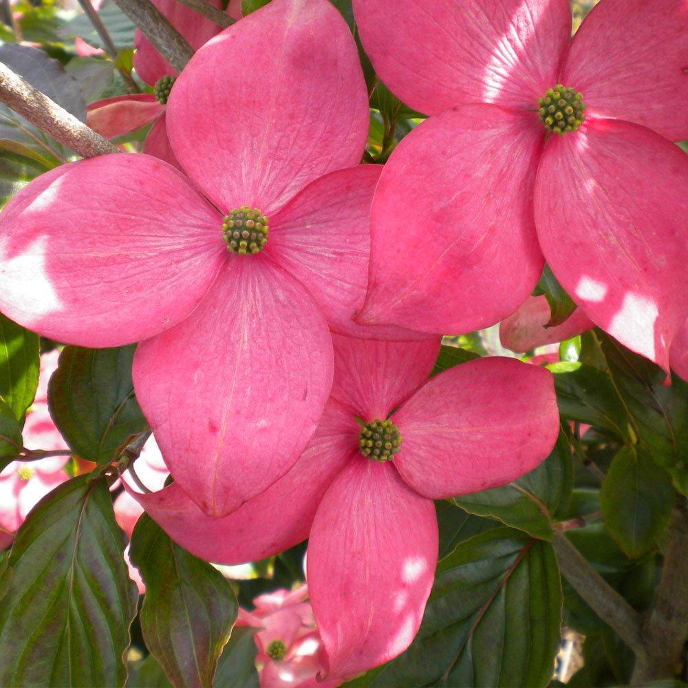 cornus florida cherokee sunset pink flowering dogwood trees. Black Bedroom Furniture Sets. Home Design Ideas