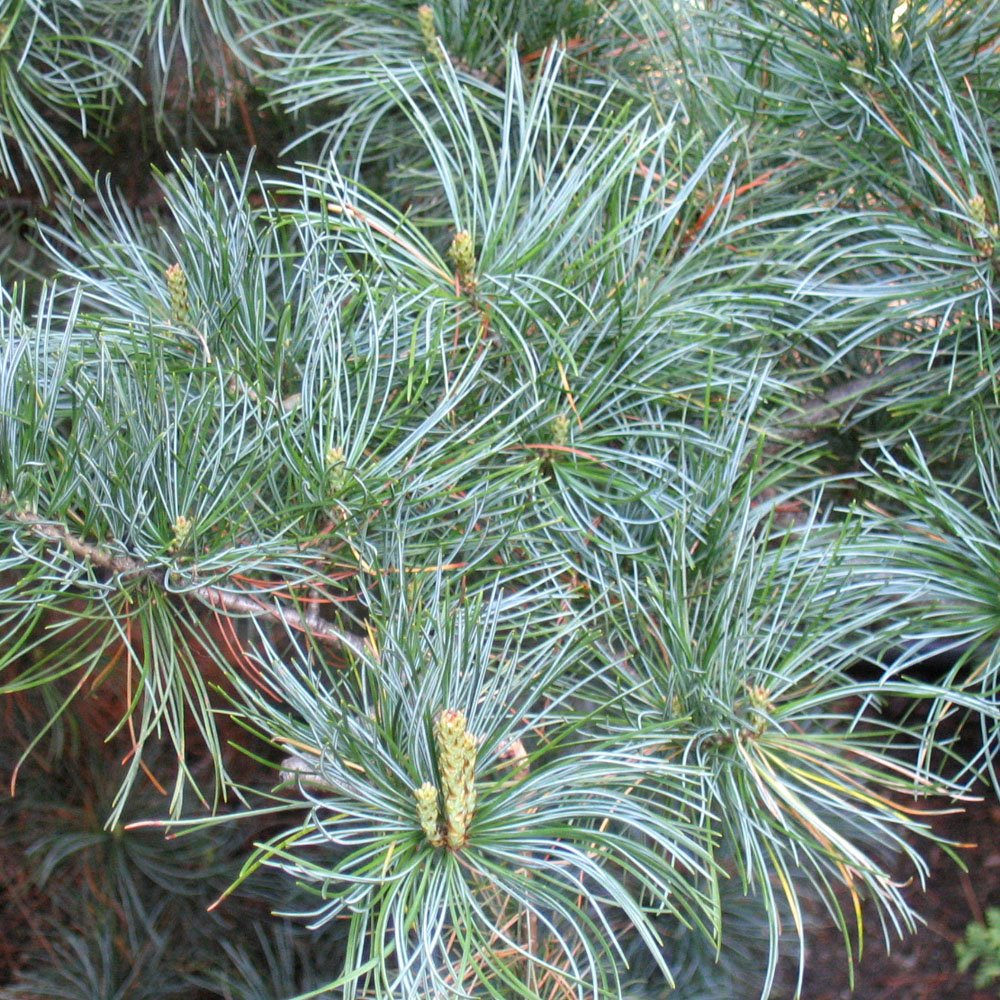 pinus parviflora tempelhof blue pine trees online. Black Bedroom Furniture Sets. Home Design Ideas