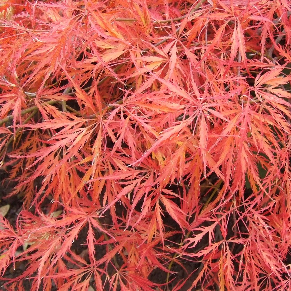 acer palmatum dissectum ever red weeping japanese maple. Black Bedroom Furniture Sets. Home Design Ideas