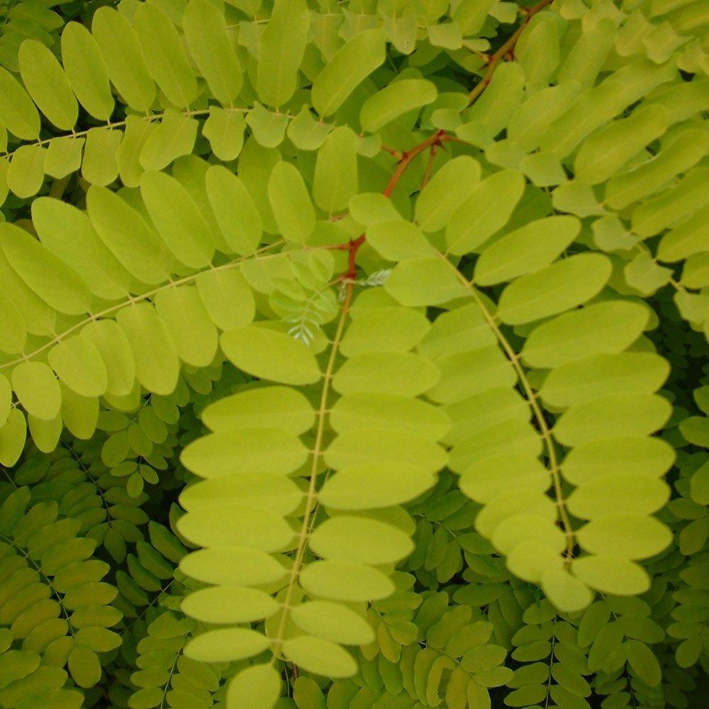 Robinia pseudoacacia - False-acacia -- Discover Life