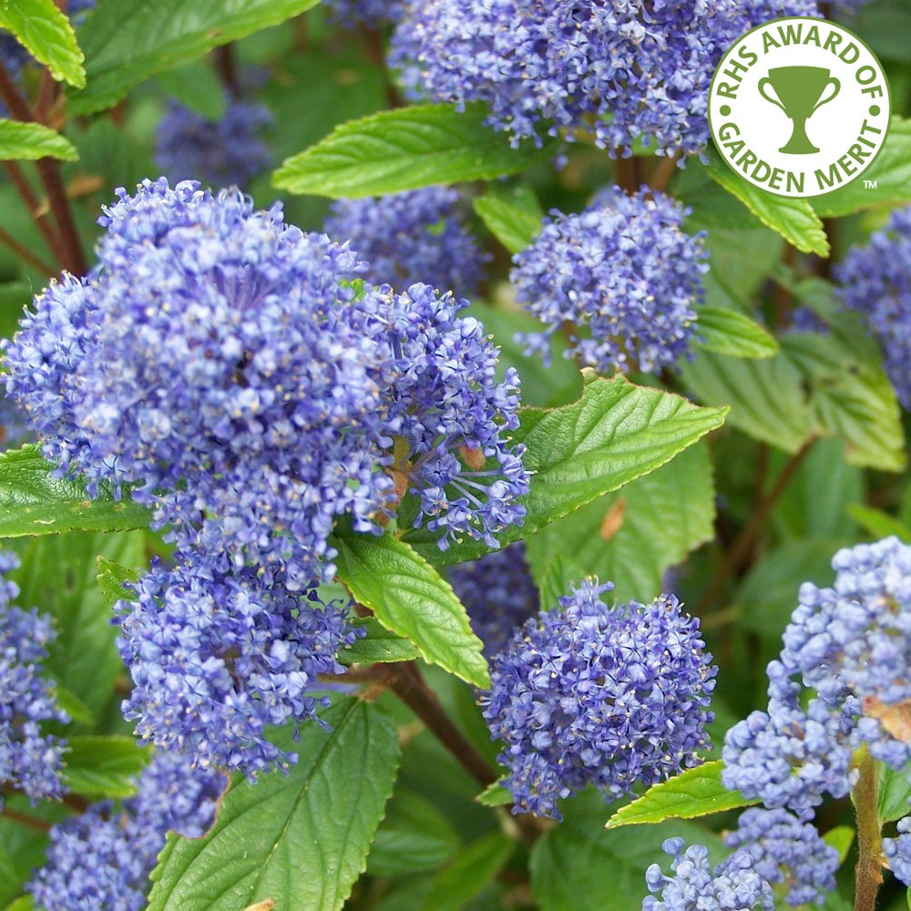 ceanothus trewithen blue californian lilac trees for sale. Black Bedroom Furniture Sets. Home Design Ideas