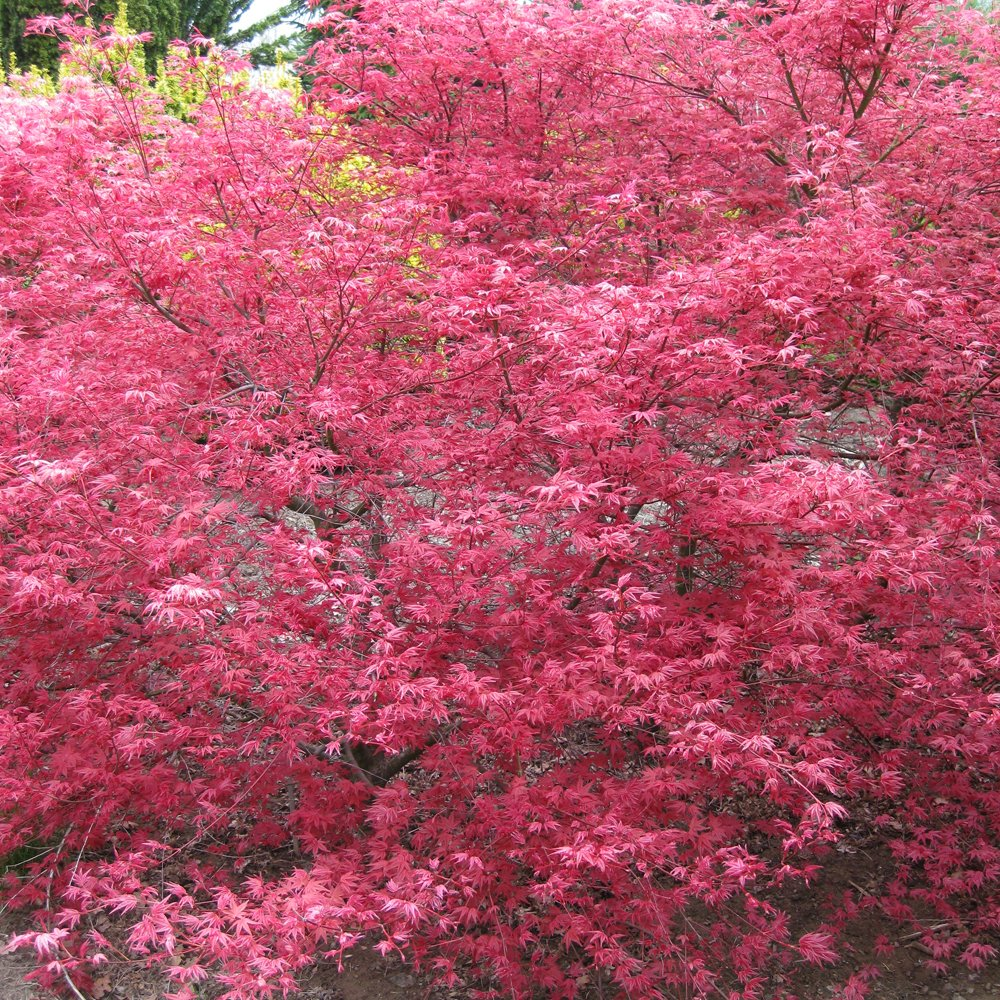 buy acer palmatum shin deshojo trees buy spring ruby trees online. Black Bedroom Furniture Sets. Home Design Ideas