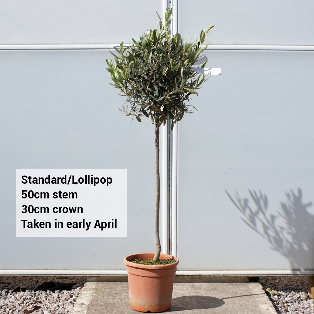 Olive standard lollipop olive tree topiary for What to plant under olive trees