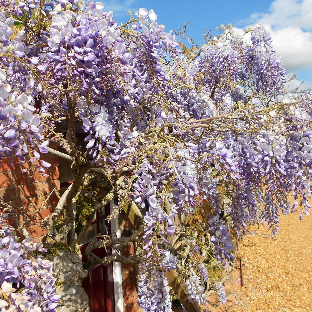 Wisteria sinensis prolific buy chinese blue wisteria trees for Purchase trees