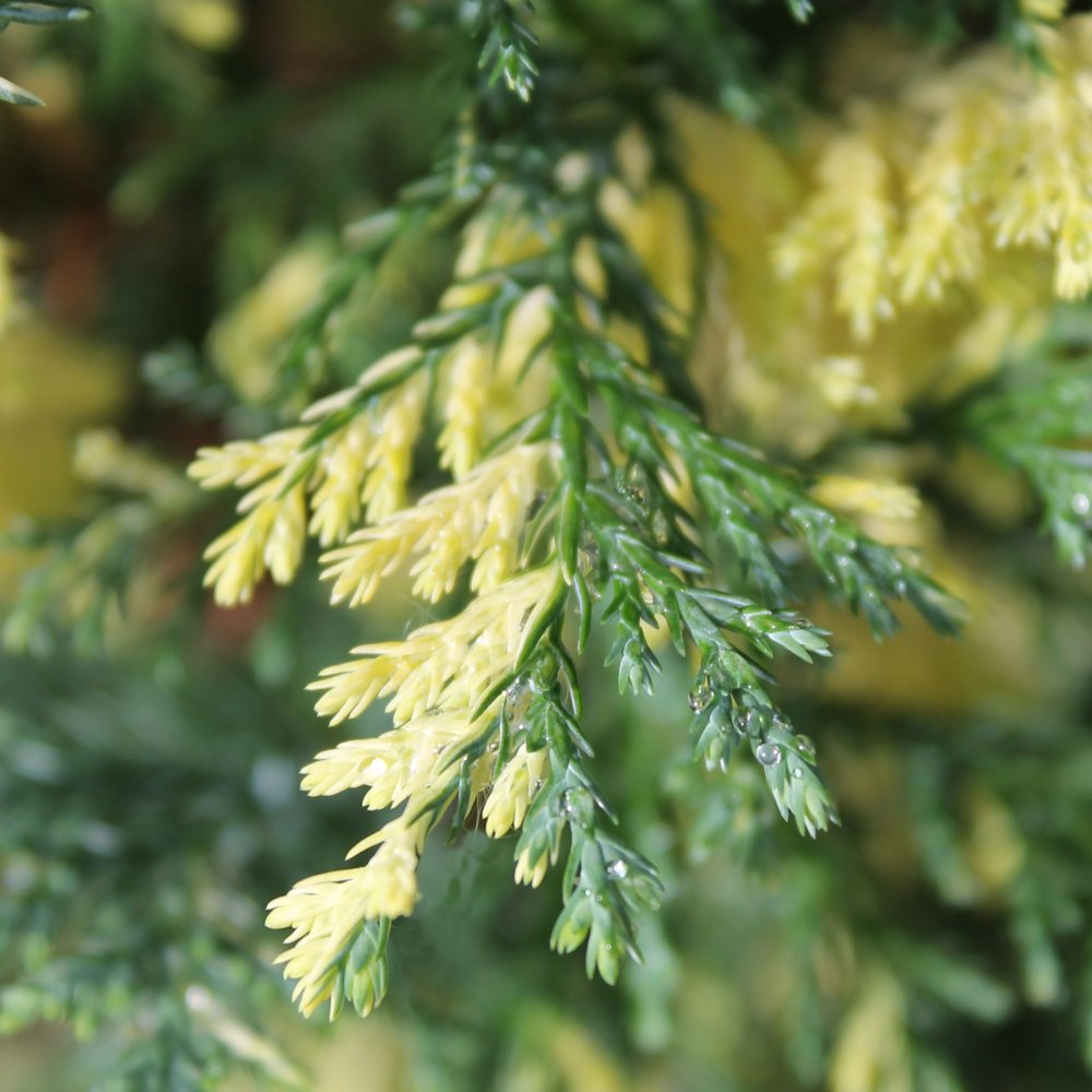 Chamaecyparis lawsoniana fleckellwood cypress fleckellwood for Small decorative evergreen trees