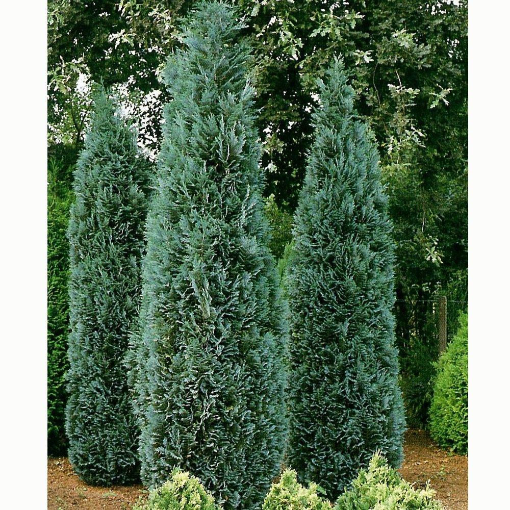 Chamaecyparis lawsoniana columnaris glauca lawsons cypress for Small sized evergreen trees