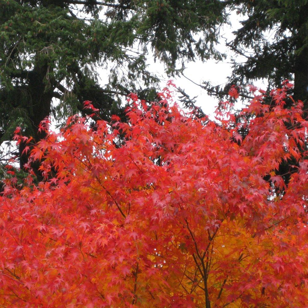 Acer Palmatum U0027Cascadeu0027 Tree ...