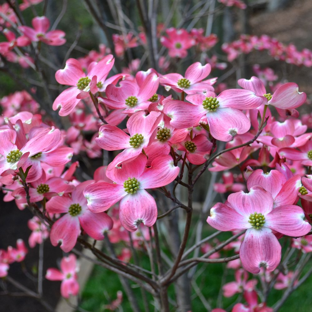 cornus florida rubra buy pink flowering dogwood trees