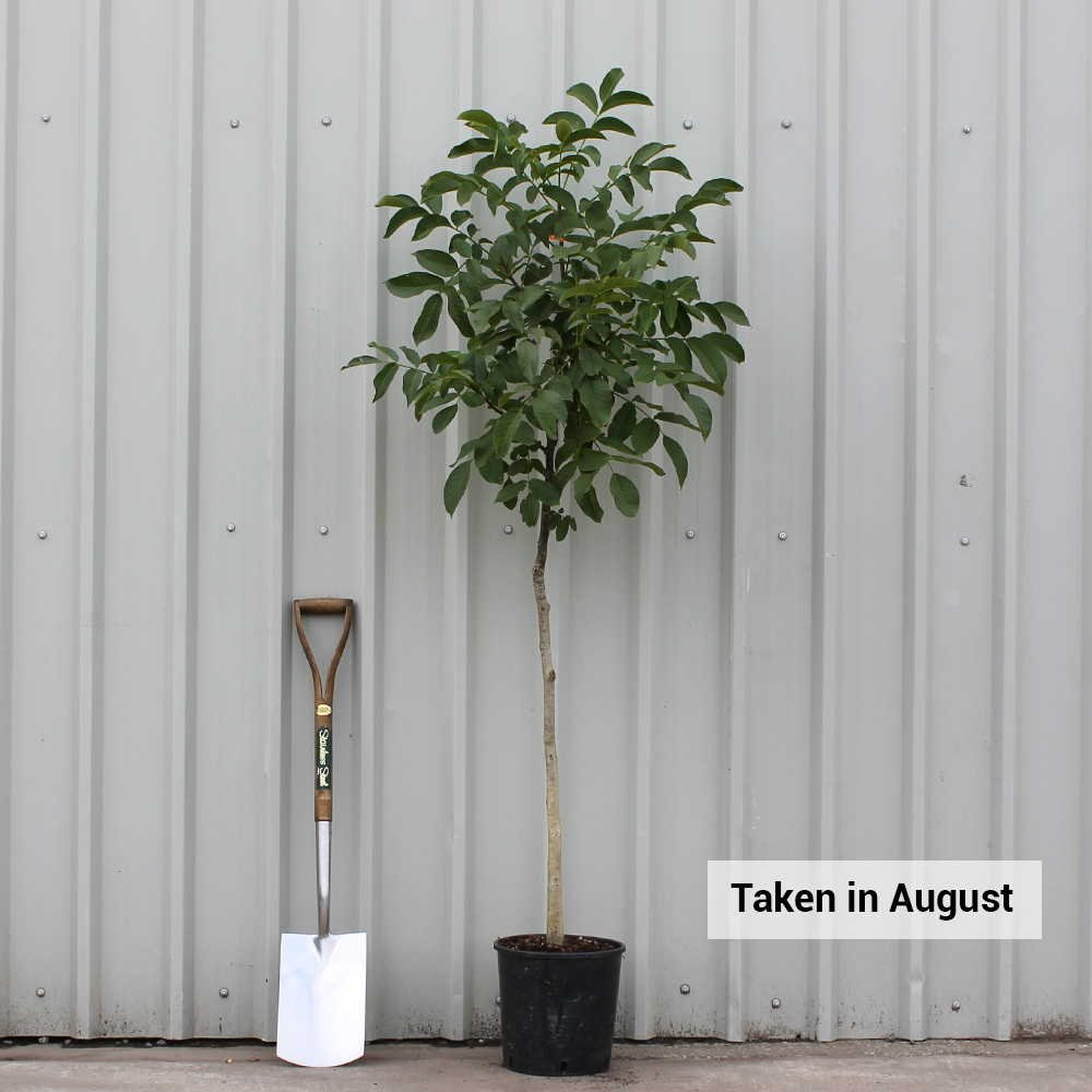 juglans regia common walnut tree buy english walnut tree. Black Bedroom Furniture Sets. Home Design Ideas