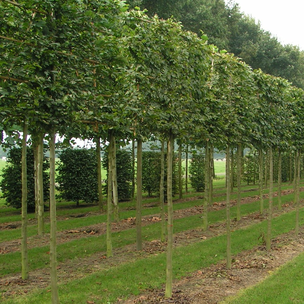Pleached hornbeam trees buy pleached carpinus betulus for Purchase trees
