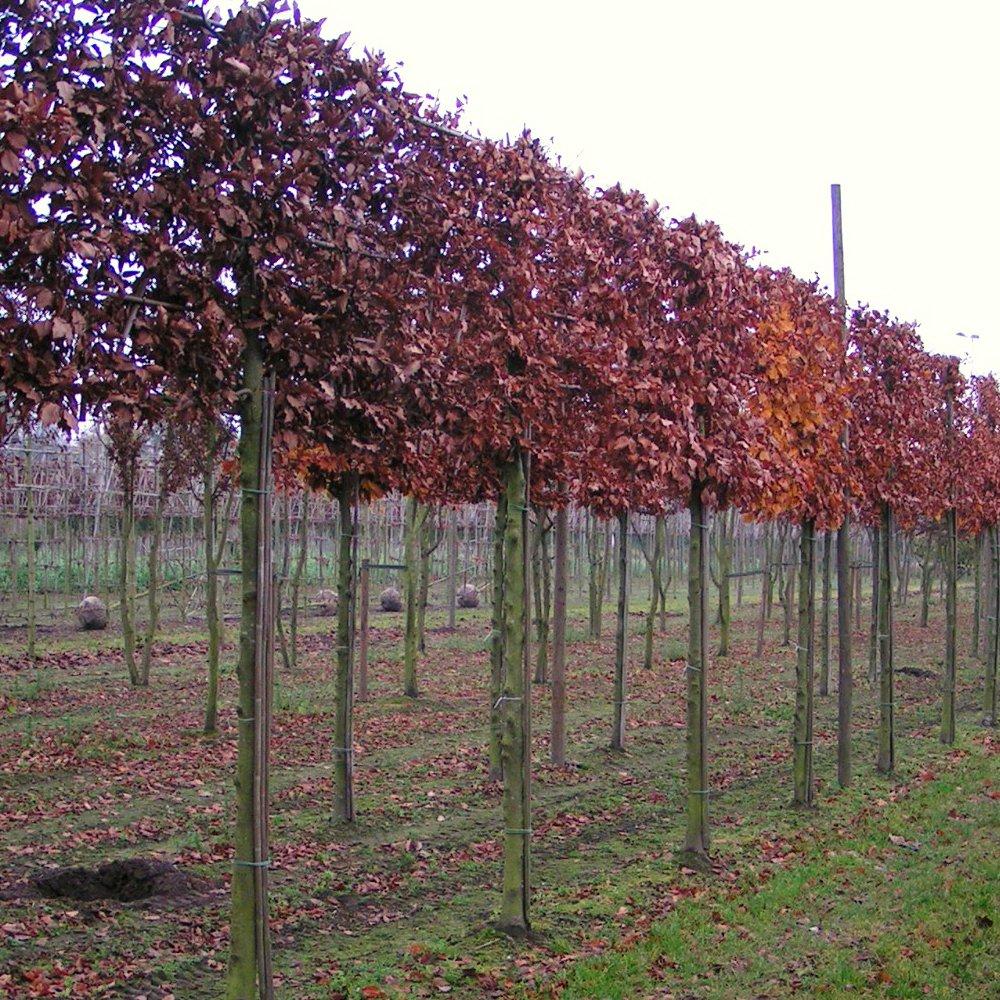 Pleached Beech Trees Pleached Beech Hedging Ornamental