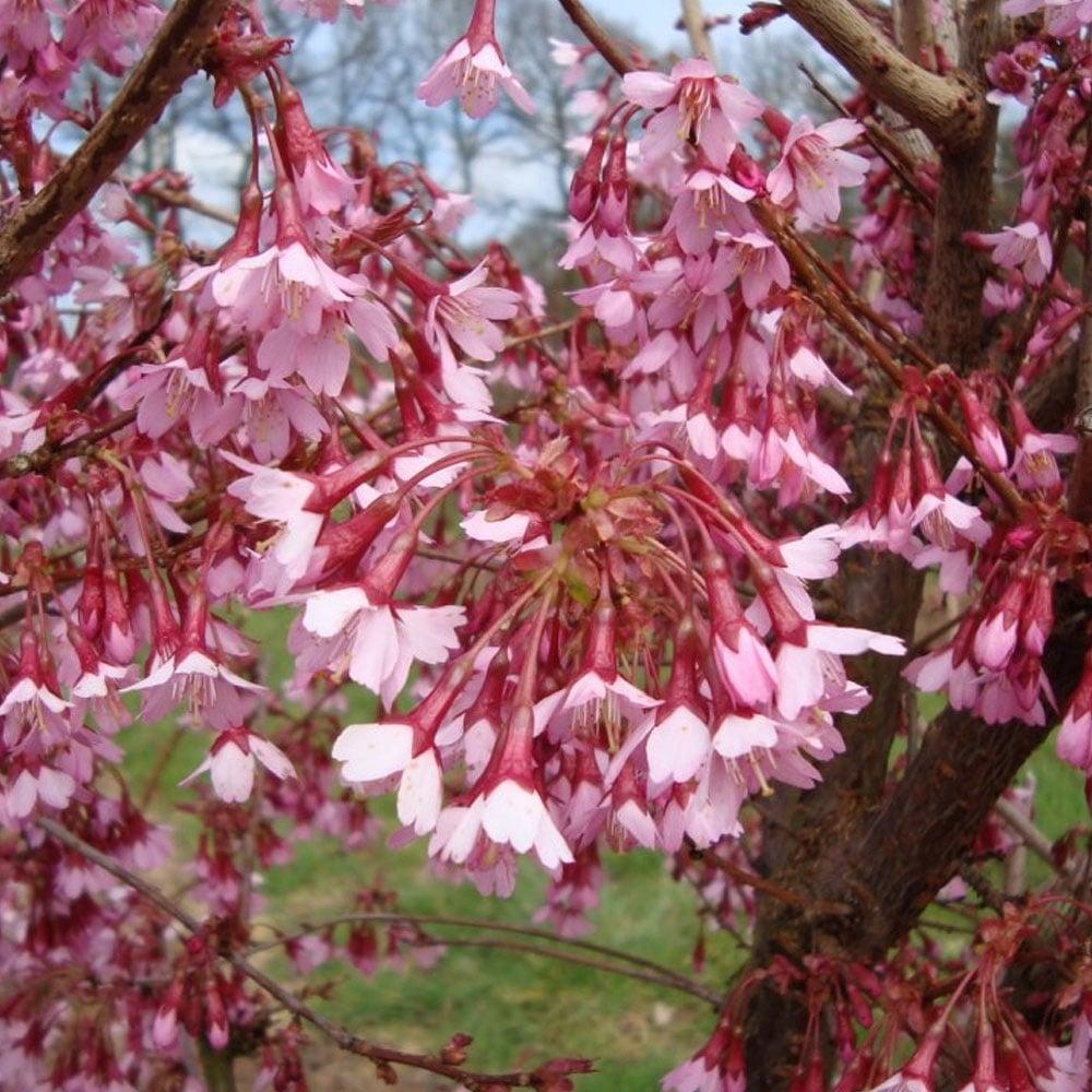 prunus okame flowering cherry tree buy cherry blossom. Black Bedroom Furniture Sets. Home Design Ideas