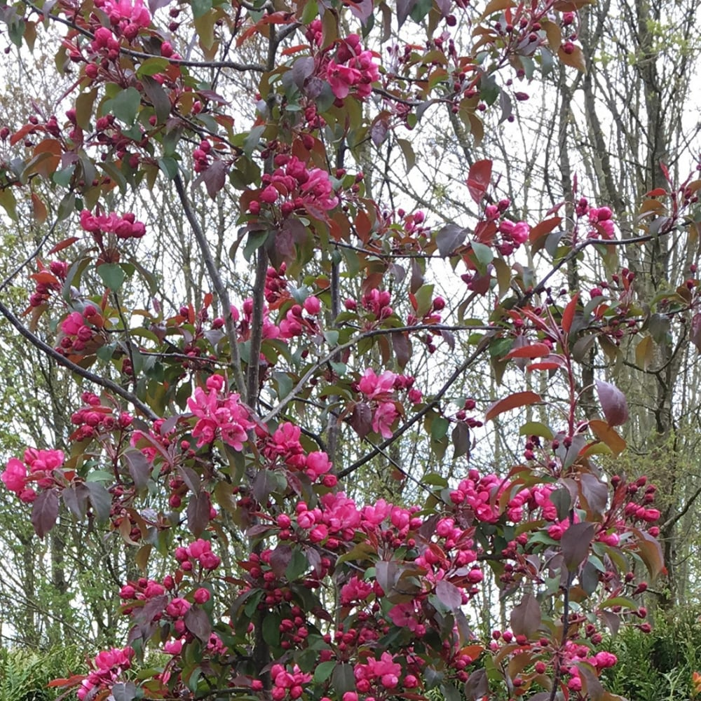 Malus royalty buy flowering crab apple tree crab apple for Purchase trees