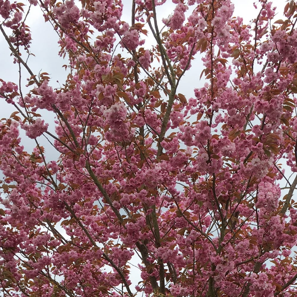 Japanese cherry blossom trees for sale awesome artificial for Cherry trees for sale