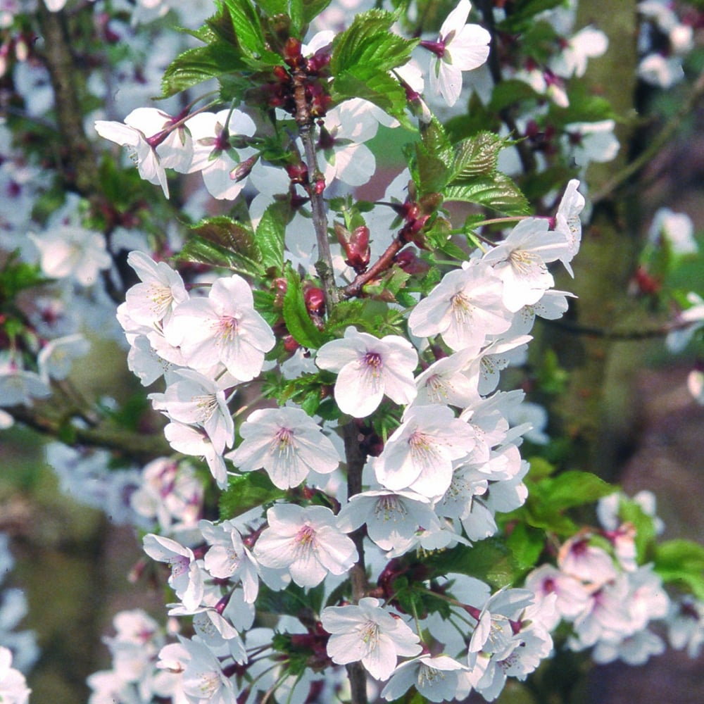 prunus snow goose buy cherry blossom tree flowering. Black Bedroom Furniture Sets. Home Design Ideas