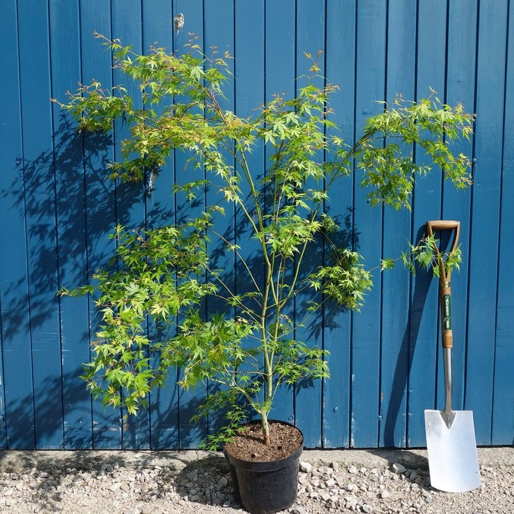 Acer palmatum katsura japanese maple tree buy dwarf for Dwarf decorative trees