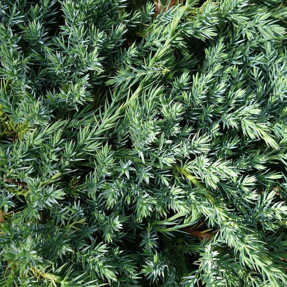 Juniperus squamata blue carpet buy blue carpet juniper shrub - Juniperus squamata blue carpet ...