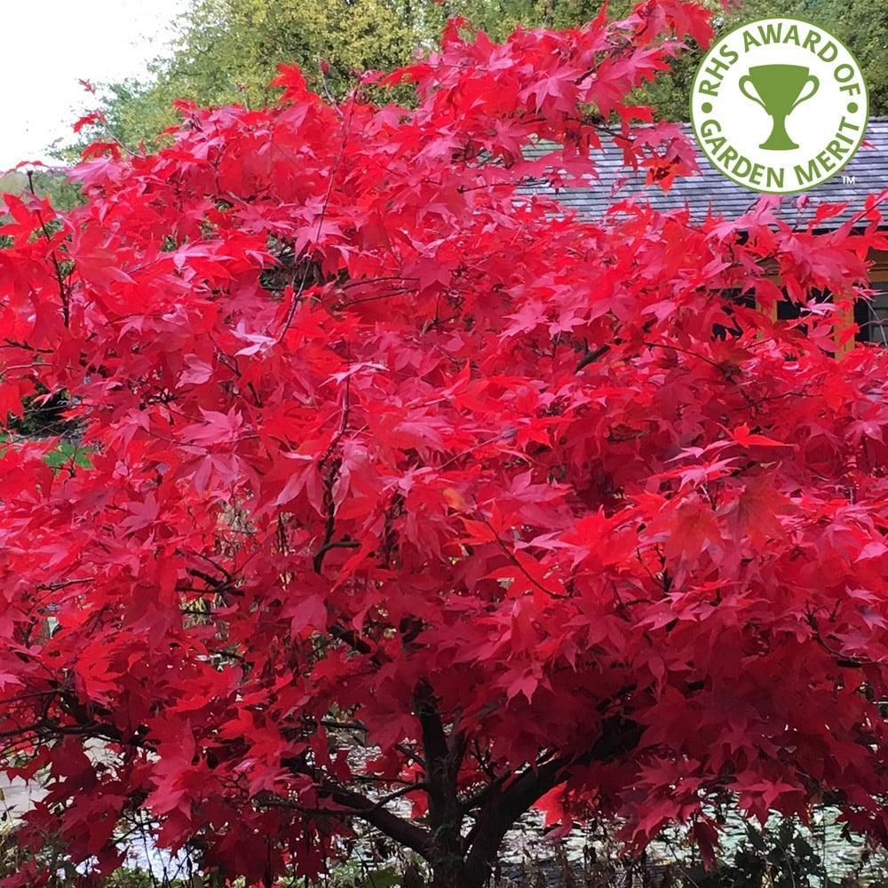 LINER Burning Bush Brilliant Red Fall Colorlike on