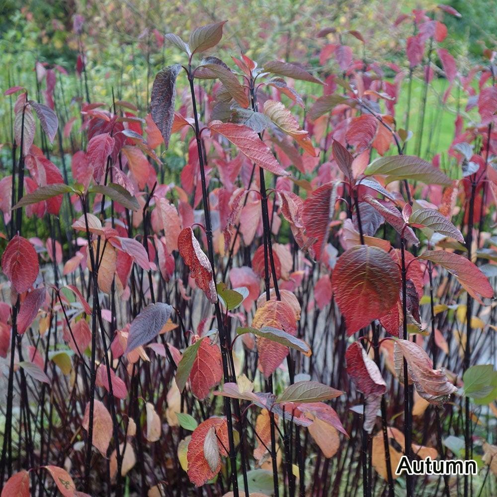 Small Ornamental Trees Oregon: Buy Purple Stemmed Dogwood Shrubs