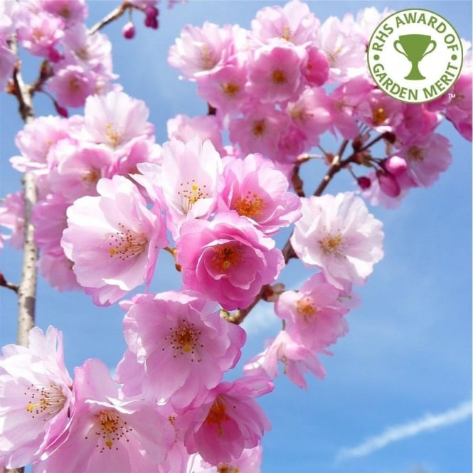 Prunus Accolade Buy Pink Flowering Cherry Blossom Trees
