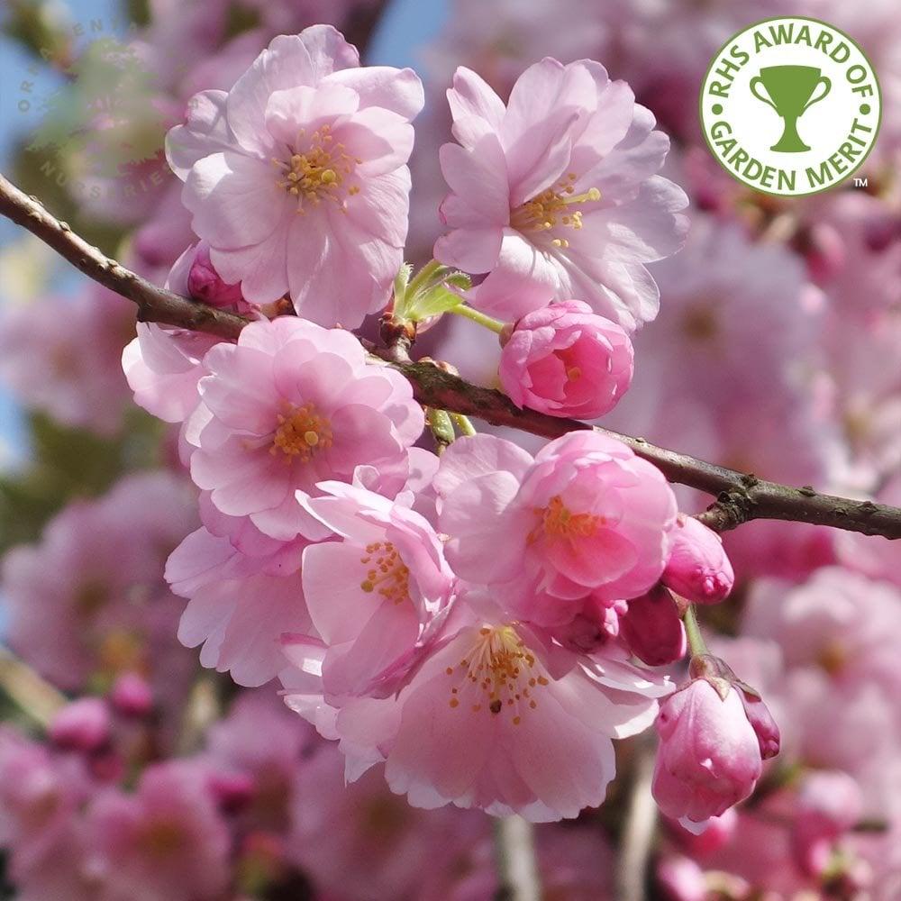 prunus accolade buy pink flowering cherry blossom trees. Black Bedroom Furniture Sets. Home Design Ideas