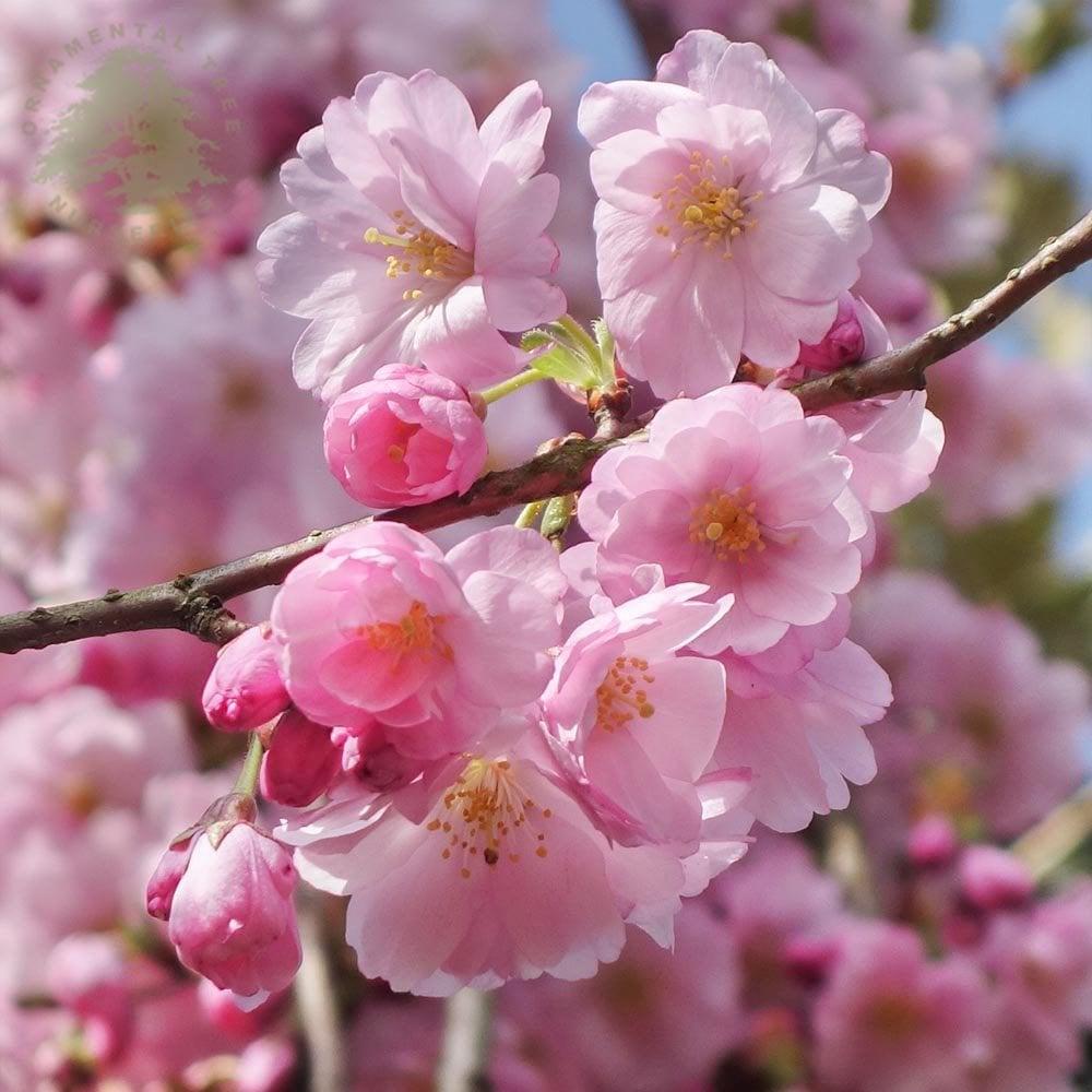 Prunus Accolade Buy Pink Flowering Cherry Blossom Trees