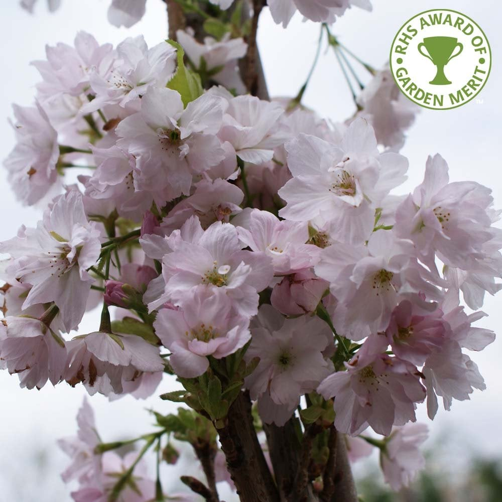 Prunus Amanogawa Buy Upright Flagpole Cherry Blossom Trees