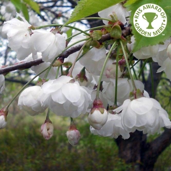 White cream flowering trees ornamental trees ltd prunus avium plena tree mightylinksfo