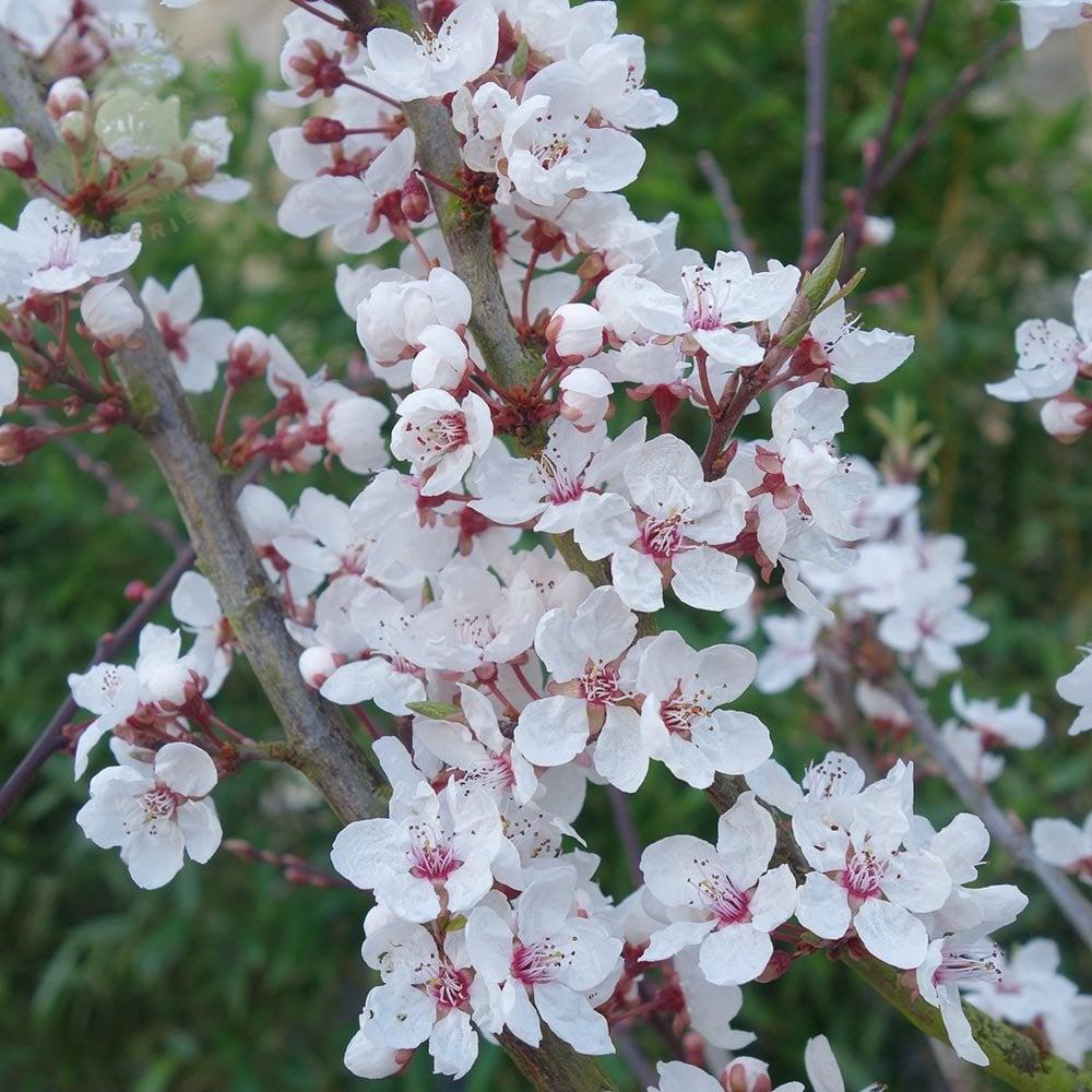 Prunus Cerasifera Hessei Buy Dwarf Flowering Cherry Plum Trees