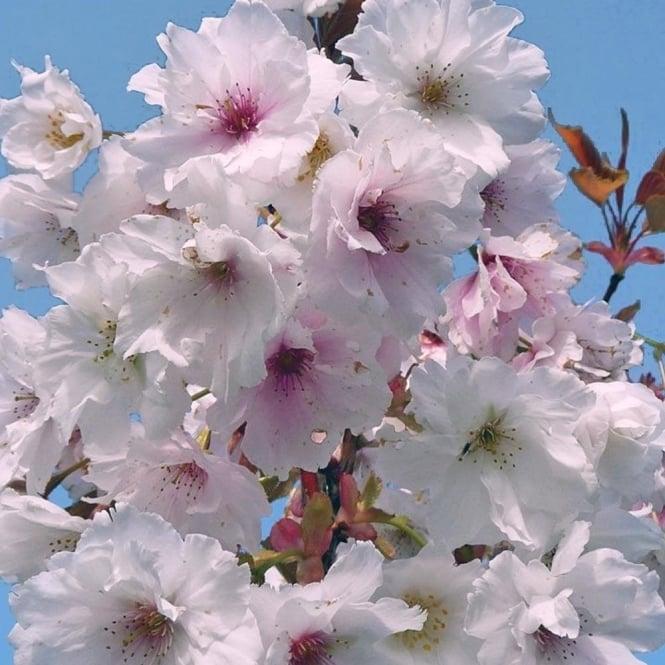 White flowering cherry blossom trees ornamental trees ltd prunus fragrant cloud shizuka tree mightylinksfo