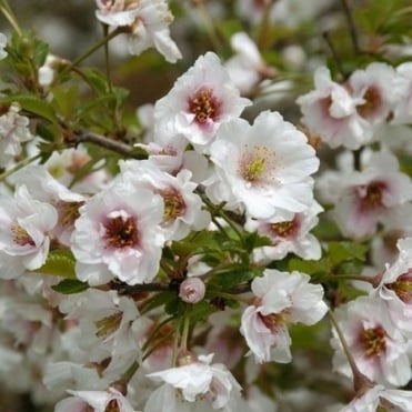 Prunus 'Hally Jolivette' Chery tree