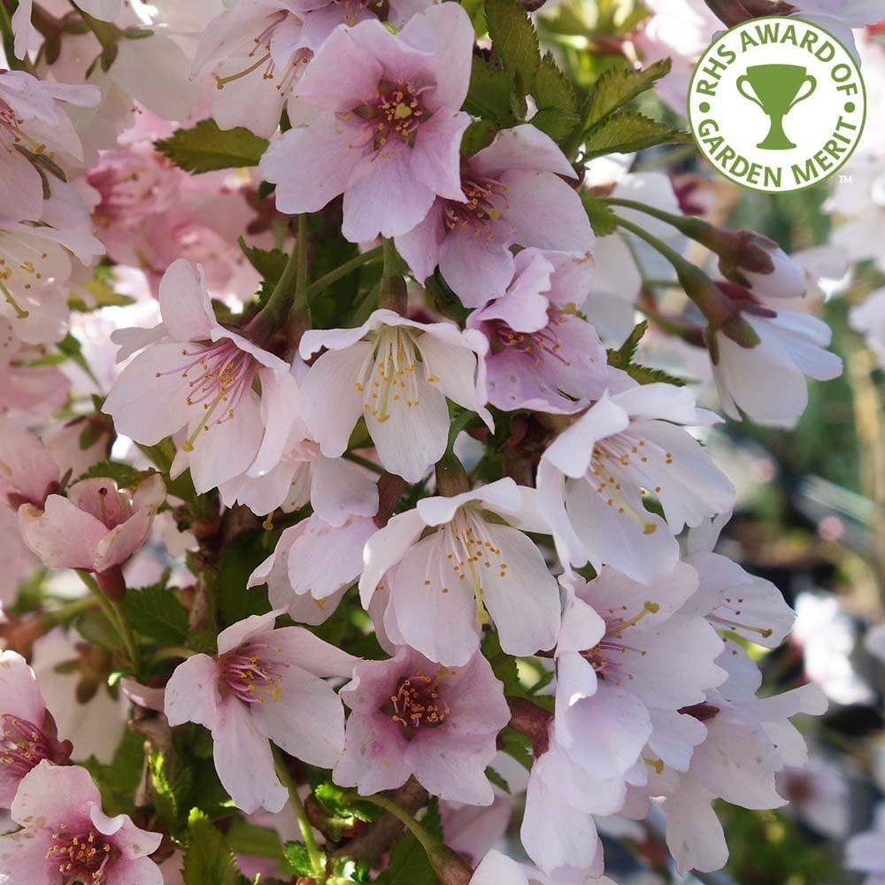 Prunus Incisa Kojo No Mai Small Fuji Cherry Blossom Trees