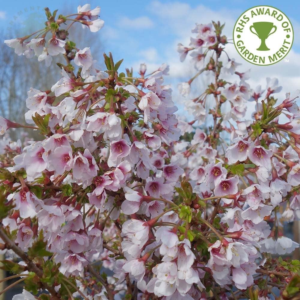 Prunus Incisa Kojo No Mai Buy Small Fuji Cherry Blossom Trees