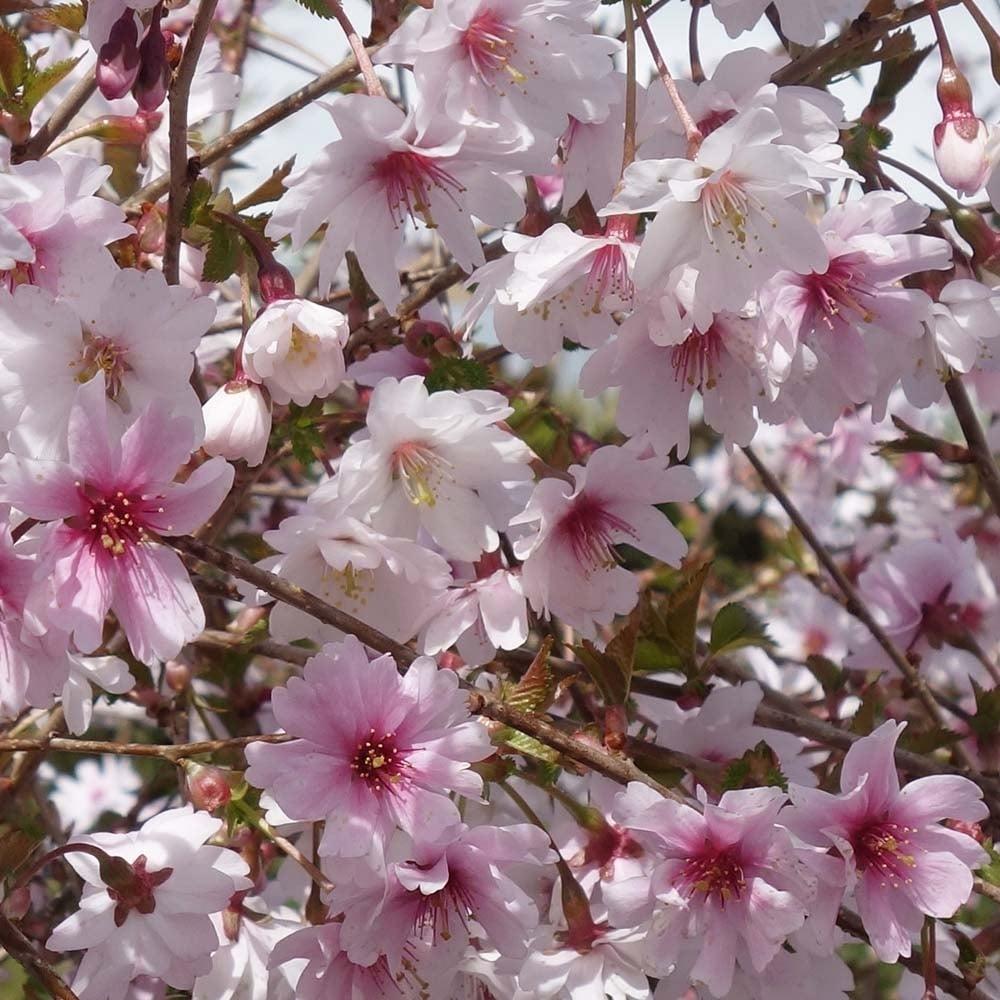 Prunus Incisa Mikinori Semi Double Fuji Cherry Trees For Sale