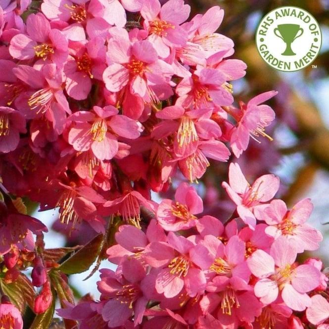 Prunus Kursar Buy Small Pink Flowering Cherry Blossom Trees