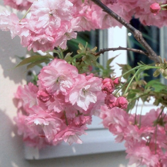 Prunus Little Pink Perfection Dwarf Cherry Blossom Tree